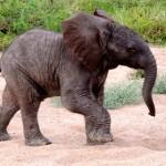 Tierwelt: Baby-Elefant