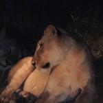 Die Löwin im Scheinwerferlicht des Taxis - Foto: Flying Media